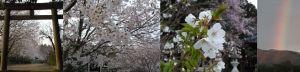 六神社の桜と虹