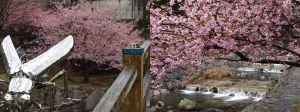 相知町見帰りの滝に河津桜