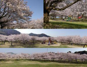 向島運動公園の桜