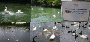 常盤公園白鳥の復活