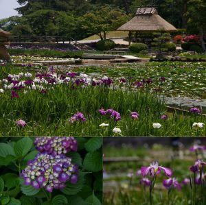 常盤公園菖蒲苑